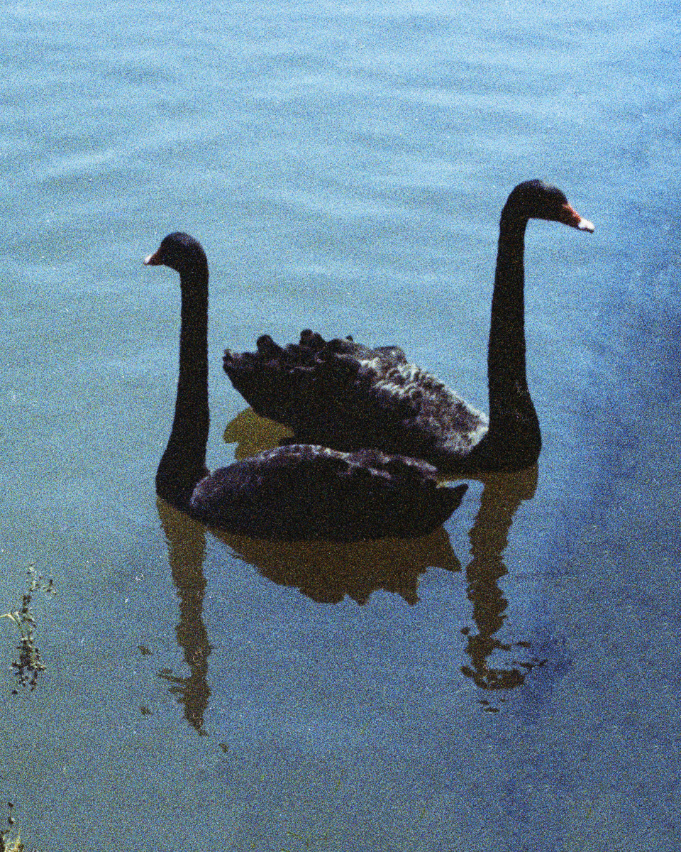 Castle_118_Blackswans 001